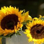 Sonnenblumen_fundwerke_022013