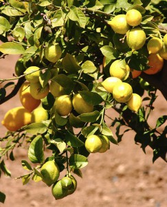 Lemons In A Lemon Tree In Southern Europe