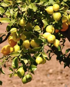 Lemons In A Lemon Tree In Southern Europe